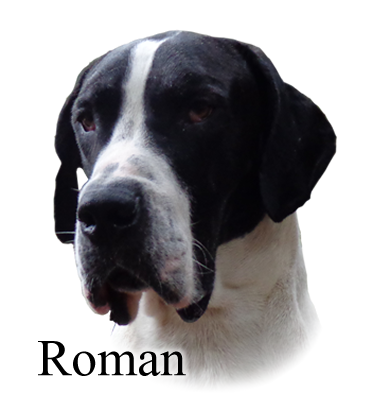 Roman Augustus of House of Danes Great Dane Piebald Male