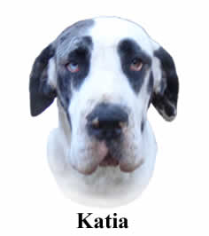 Katia - Harlequin Great Dane - 100% Euro