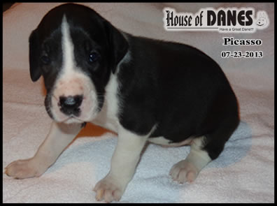 Picasso Mantle Male Great Dane