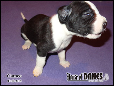 Cameo - Great Dane Puppy
